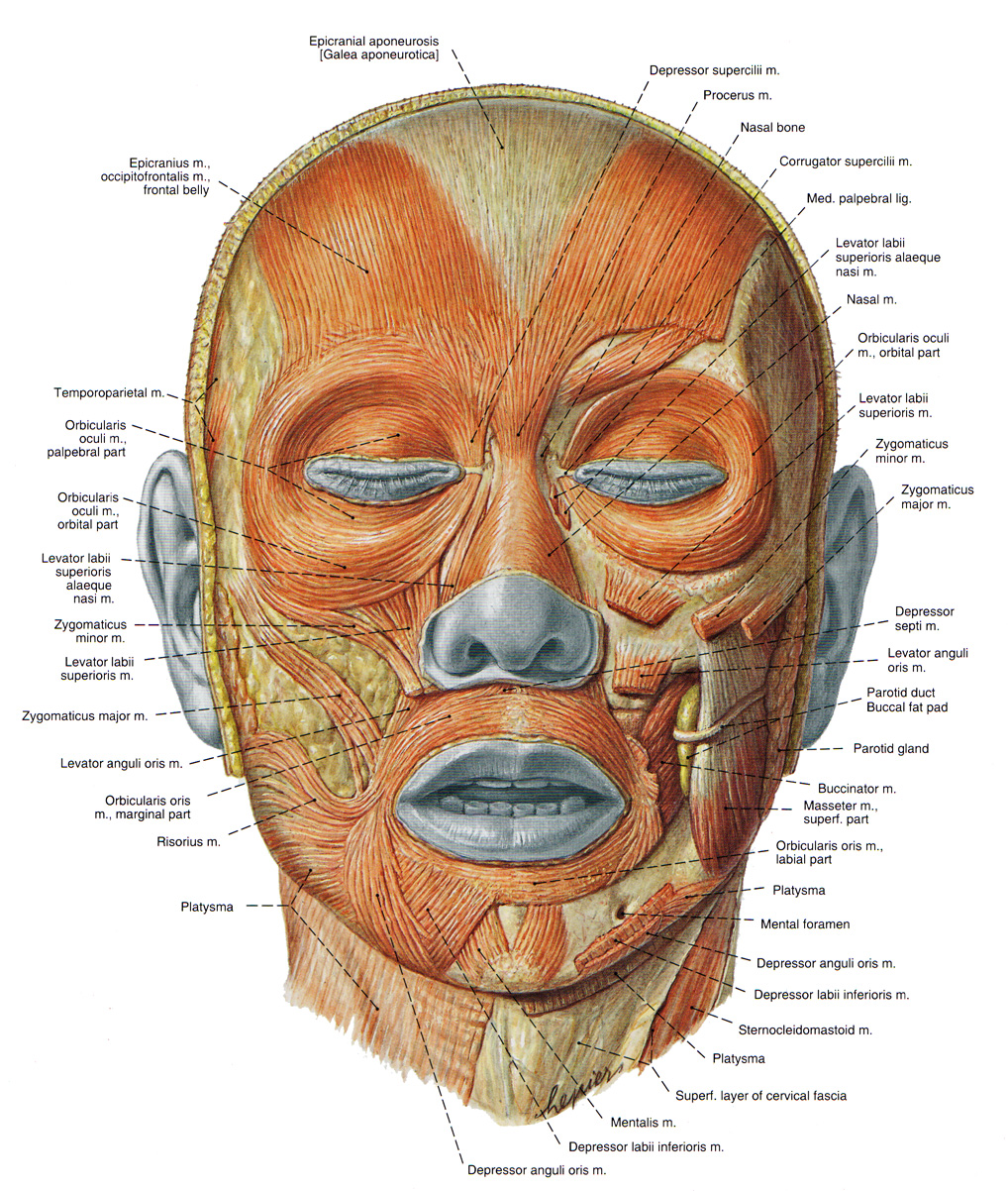 20 face exercises a natural facelift monterey bay holistic facial muscles pooptronica