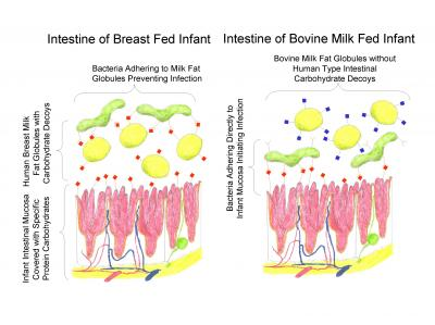 Breast Milk Research