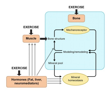 Exercise bone growth