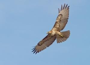 Hawk flying in sky