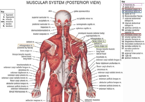Muscular System of the Human Back
