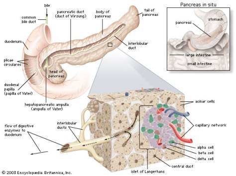 Structures of the pancreas